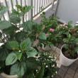 プルメリアの鉢植えを購入
