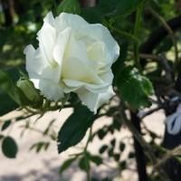 牡丹と芍薬が一緒に咲いた!