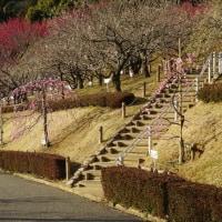赤塚山公園の河津桜・・・・・♪