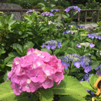 やっぱり実家の紫陽花が好き