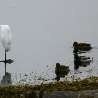 琵琶湖の白鷺