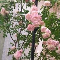 第19回国際バラとガーデニングショウ