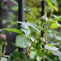 今頑張っている、日陰の庭のバラ仕事