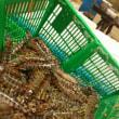 築地市場の海老専門仲卸の佃林です。今日のイチオシ車海老