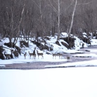 川に群れるエゾシカ