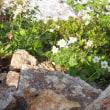 唐松岳周辺の植物:ハクサンイチゲ
