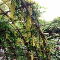 亀戸天神の【黄花藤】が綺麗