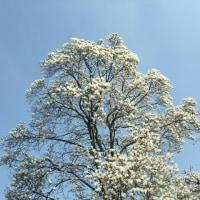 木蓮・山茱萸・菜の花畑