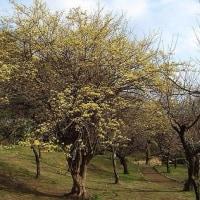 季節の花山茱萸 (さんしゅゆ」