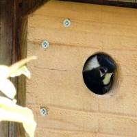 営巣中のシジュウカラが頑張っています