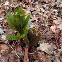 朝霧高原早春の花:ハシリドコロの葉だけが見えますが
