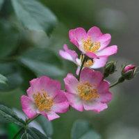 庭のお花達 薔薇・バレリーナ他