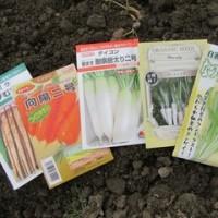 春まき根菜類の種を蒔いた