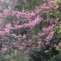 緋寒桜の下で