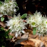 パロニキア・カピタタ Paronychia capitata