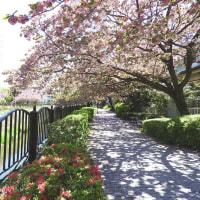 程久保川 八重桜