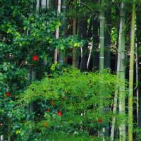 竹林と椿  大津市