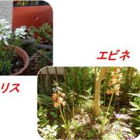 我が家の花が・・・