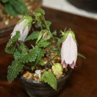 「おはようの花」  イシダテホタルブクロ(石立蛍袋) 6月