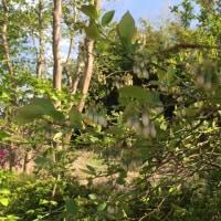 ブルーベリーの栽培