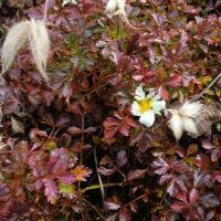 ◇チングルマの花と羽毛状花柱と紅葉の凝縮。