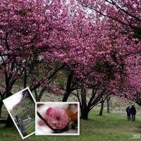 一心寺・烏帽子公園のぼたん桜