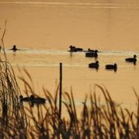 270. 西印旛沼・冬鳥シーズンの到来。