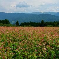 蕎麦の花は白いのですが、ここの蕎麦畑の色は・・・!?