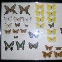 ◆かくれ趣味ですが、マイ標本箱をアップ。
