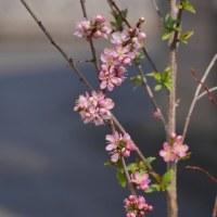我が家の春の花 その壱 紅花キブシ 雪白キンバイ ニワウメ