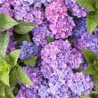 雨降りの紫陽花