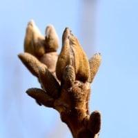 オニグルミの芽と蕾