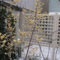 雪景色で庭の冬作業はストップ