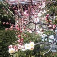 梅は咲いたか・・・