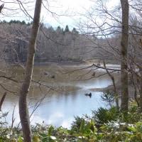野幌森林公園のミズバショウ:4月28日2017