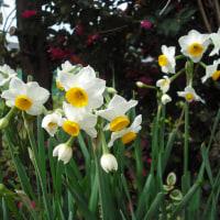 この時期有難い 水仙の花