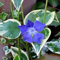 蔓日日草(つるにちにちそう)という花