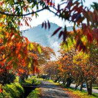 2016 柳坂曽根のハゼ並木 (1km程の赤や黄色の並木が迎えてくれる)《久留米市山本町豊田》