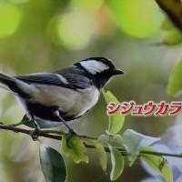 野鳥(テレビより)
