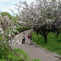 足立区 都市農業公園の桜