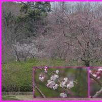 於大公園の花 : 紅梅 ・・・ 一番遅咲きの紅梅が満開になり梅は終わりましたが染井吉野は開花です。