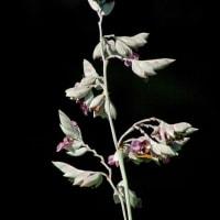 なに気なきいのちかなしもあの日より③―ミズカンナの花