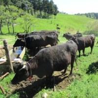 石巻市河北上品山牧場で放牧が始まりました!