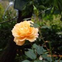 トゲあれど香は甘しバラの園10/27