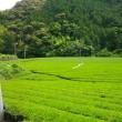 二番茶収穫