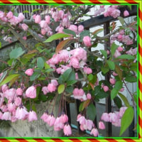 4月14日 今年もカイドウの花咲く