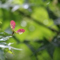 湧永満之記念庭園 雨上がりの青もみじ