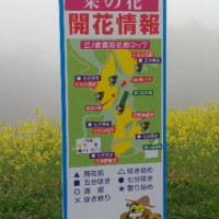 三ノ倉高原 菜の花開花状況(2017/5/25)