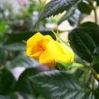 薔薇 サプライズ