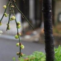 梅一輪、開花